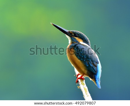 Common kingfisher (Alcedo atthis) a beautiful blue bird showing its back feathers perching on the branch over pastel blur green and blue background, amazing nature