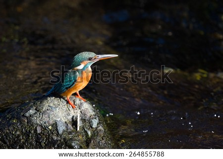 Common Kingfisher-Alcedo atthis, Kanagawa - stock photo