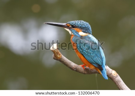 Common Kingfisher Alcedo atthis male - stock photo