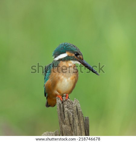Common Kingfisher (Alcedo atthis) on a branch  - stock photo