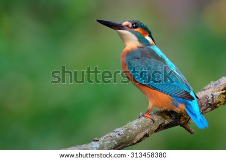 Common kingfisher (Alcedo atthis) on the branch - stock photo