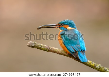 Common Kingfisher (Alcedo atthis) perching on a branch with a fish.