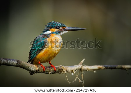 Common Kingfisher catch o the branch in nature at Khaoyai national park, Thailand - stock photo