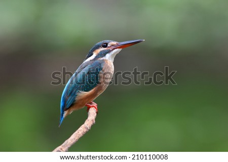 Common kingfisher(female) stand on little stick. - stock photo