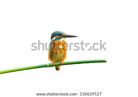 Common Kingfisher isolated on white background