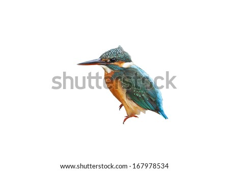 Common kingfisher on white background.