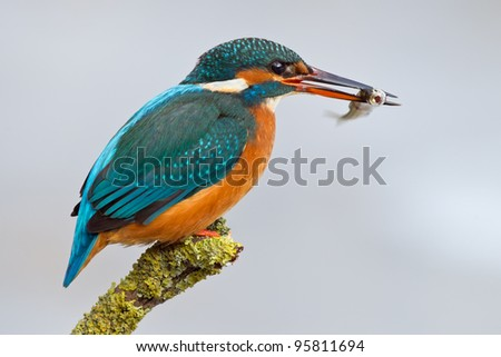 common kingfisher sitting on a branch- Alcedo atthis