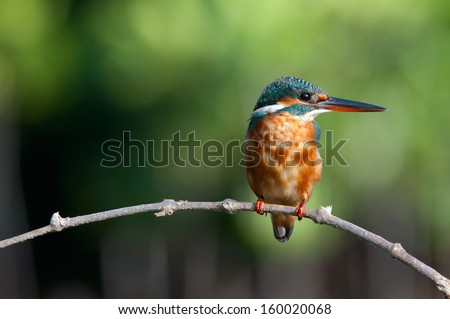 common kingfisher stand on small stick.  - stock photo