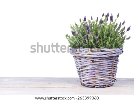 Common lavender plant in a lilac basket isolated