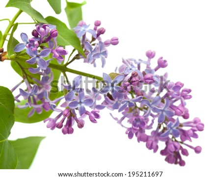 common lilac branch isolated on white