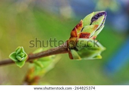 Common lilac buds (shallow depth of field) - stock photo