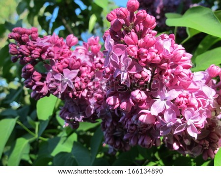 Common lilac (Syringa vulgaris) flowers in the spring garden - stock photo