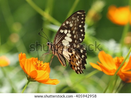 Common lime butterfly - Papilio demoleus - on a yellow cosmos flower.  Also known as lemon butterfly, lime swallowtail, small citrus butterfly, checkered swallowtail and citrus swallowtail.