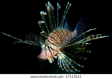 Common lion fish - stock photo
