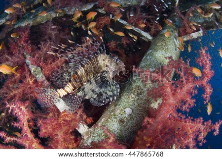 Common Lionfish and Dendronepthya. The habitat is a ship wreck.