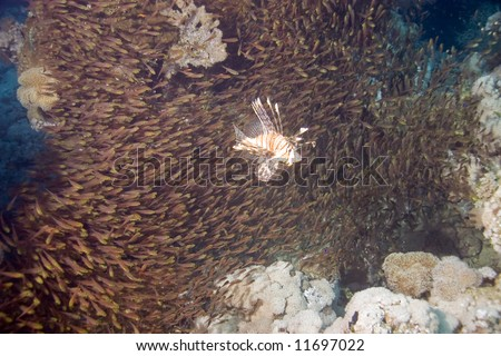 common lionfish (pterois miles) and it's favourite food: golden sweepers (parapriacanthus vanicolensis)