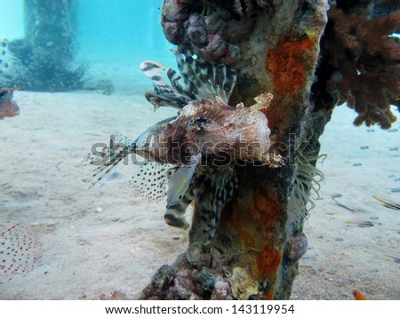 Common lionfish (Pterois miles) sitting on tlhe pillar of a jetty, in shallow, crystal clear water