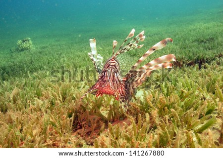 Common lionfish (Pterois miles) swimming above the sea grass in the strong current at the shallow lagoon - stock photo