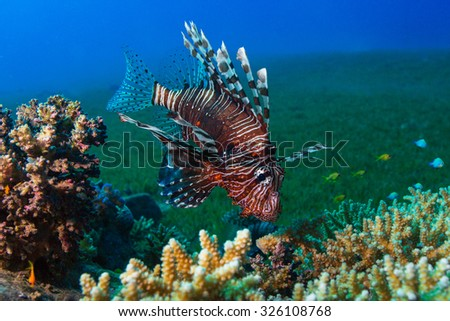 Common Lionfish (Pterois volitans) swims under a hard coral on a tropical reef. Underwater photo.
