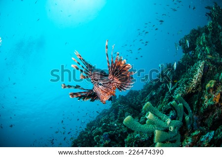 Common Lionfish swimming above coral reefs in Gili, Lombok, Nusa Tenggara Barat, Indonesia underwater photo. Common Lionfish has a specific name Pterois volitans - stock photo