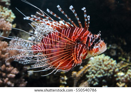 Common lionfish yawn Pterois miles