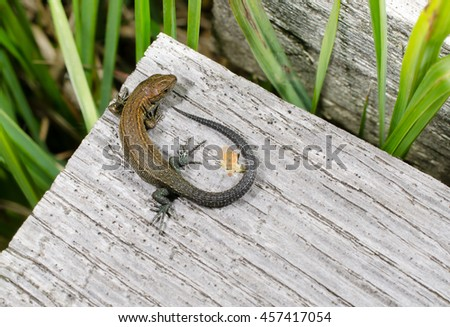 common lizard (from above, young) - stock photo