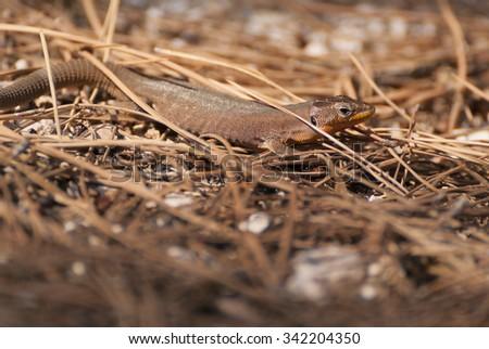 Common lizard photo taken in Croatia - stock photo