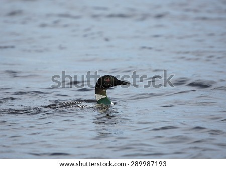 Common loon portrait  with beads of water, (Gavia immer) Is also known as great northern loon