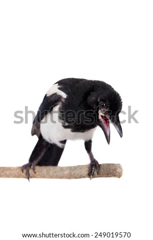 Common Magpie isolated on white - stock photo