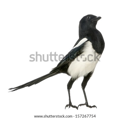 Common Magpie upright looking up, Pica pica, isolated on white