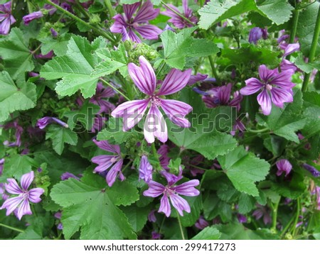 Common mallow, Malva sylvestris