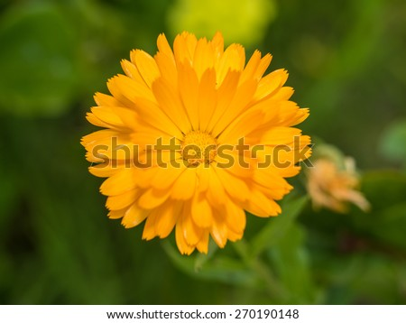 Common marigold (Calendula officinalis) is a plant in the genus Calendula of the family Asteraceae. - stock photo