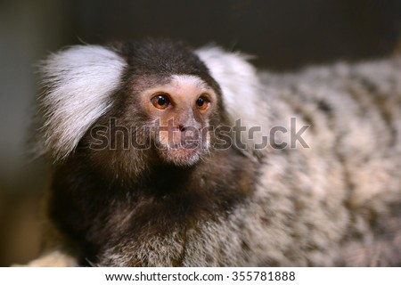 Common marmoset small monkey live in South America found in Bolivia, Brazil, Colombia, Ecuador, Paraguay and Peru - stock photo