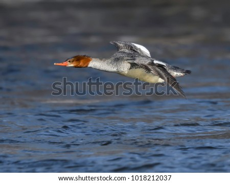 Common Merganser Female in Flight