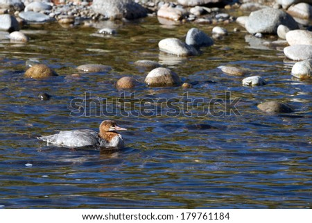 Common Merganser in winter plumage swims in Idaho's Salmon River - stock photo