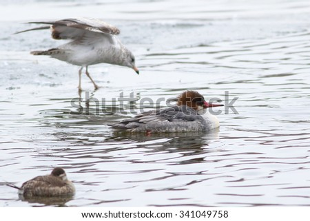 Common Merganser, Mergus merganser, female