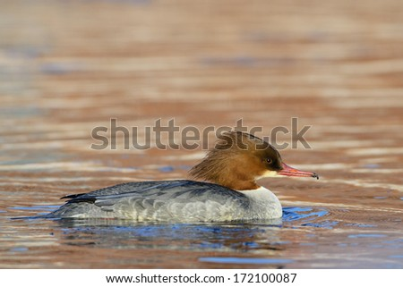 Common Merganser or Goosander female in its natural environment.