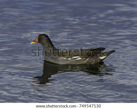 Common Moorhen Swimming