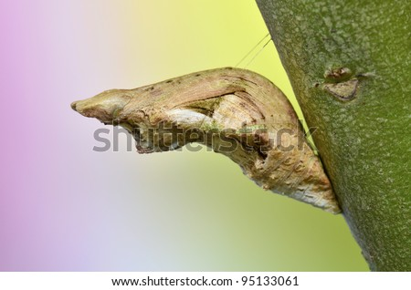 Common Mormon pupa - stock photo