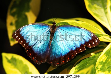 Common Morpho Butterfly - stock photo