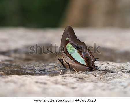 Common Nawab butterfly eating