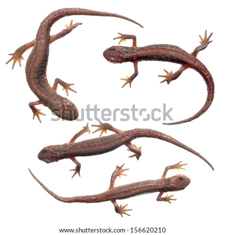 Common newts (Lissotriton vulgaris) isolated on white - stock photo