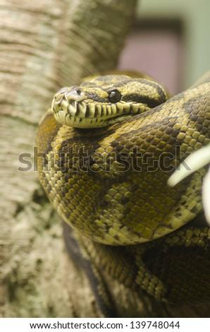 Common Northern Boa, Boa constrictor imperator - stock photo