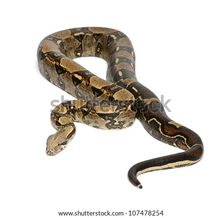 Common Northern Boa, Boa constrictor imperator, imperator is the color, against white background - stock photo