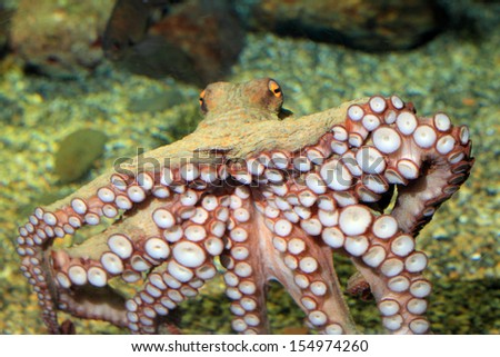 Common octopus (Octopus vulgaris) in Japan - stock photo