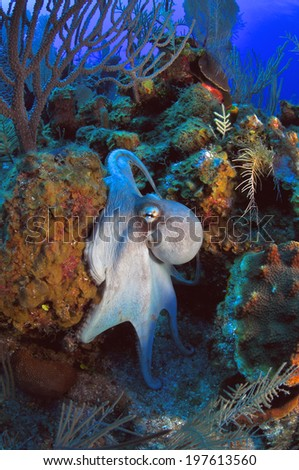 Common Octopus sinking into his hole, Grand Cayman - stock photo