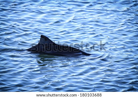 Common or Harbour Porpoise (Phocoena phocoena) dorsal fin breaking the water  - stock photo