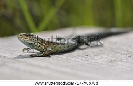 Common or Viviparous Lizard - Lacerta vivipara Warming in sun