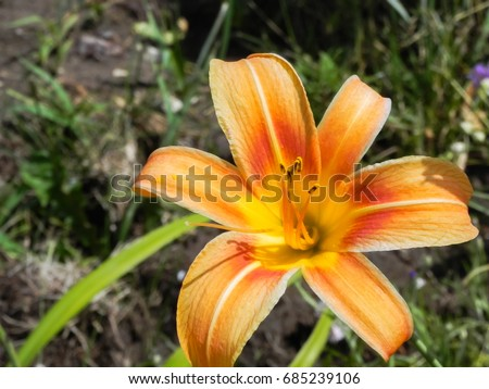Common orange lily