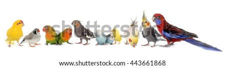 common pet parakeet, African Grey Parrot, lovebirds, Zebra finch and Cockatie lin front of white background - stock photo